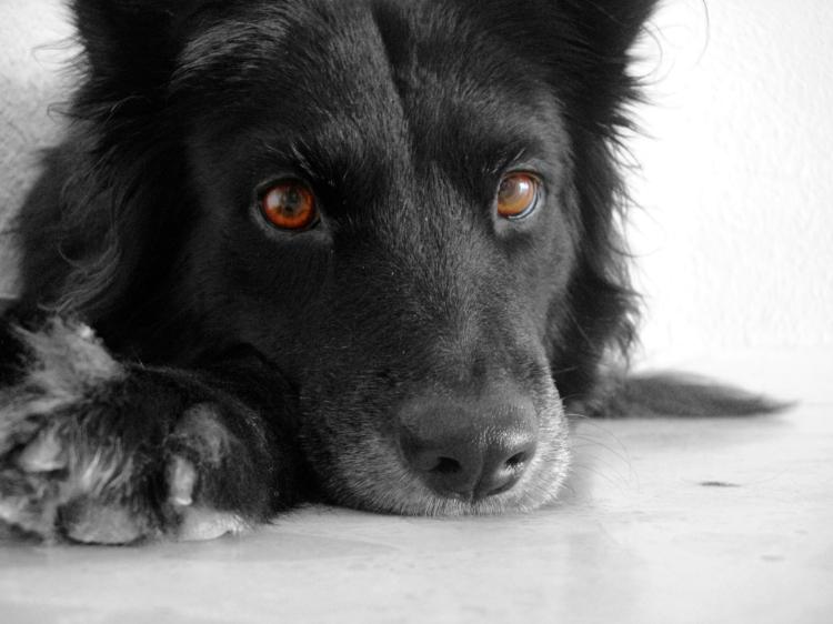 Berta, mi perra,pequeña pastora belga negra mirando a cámara con mirada serena y confiada